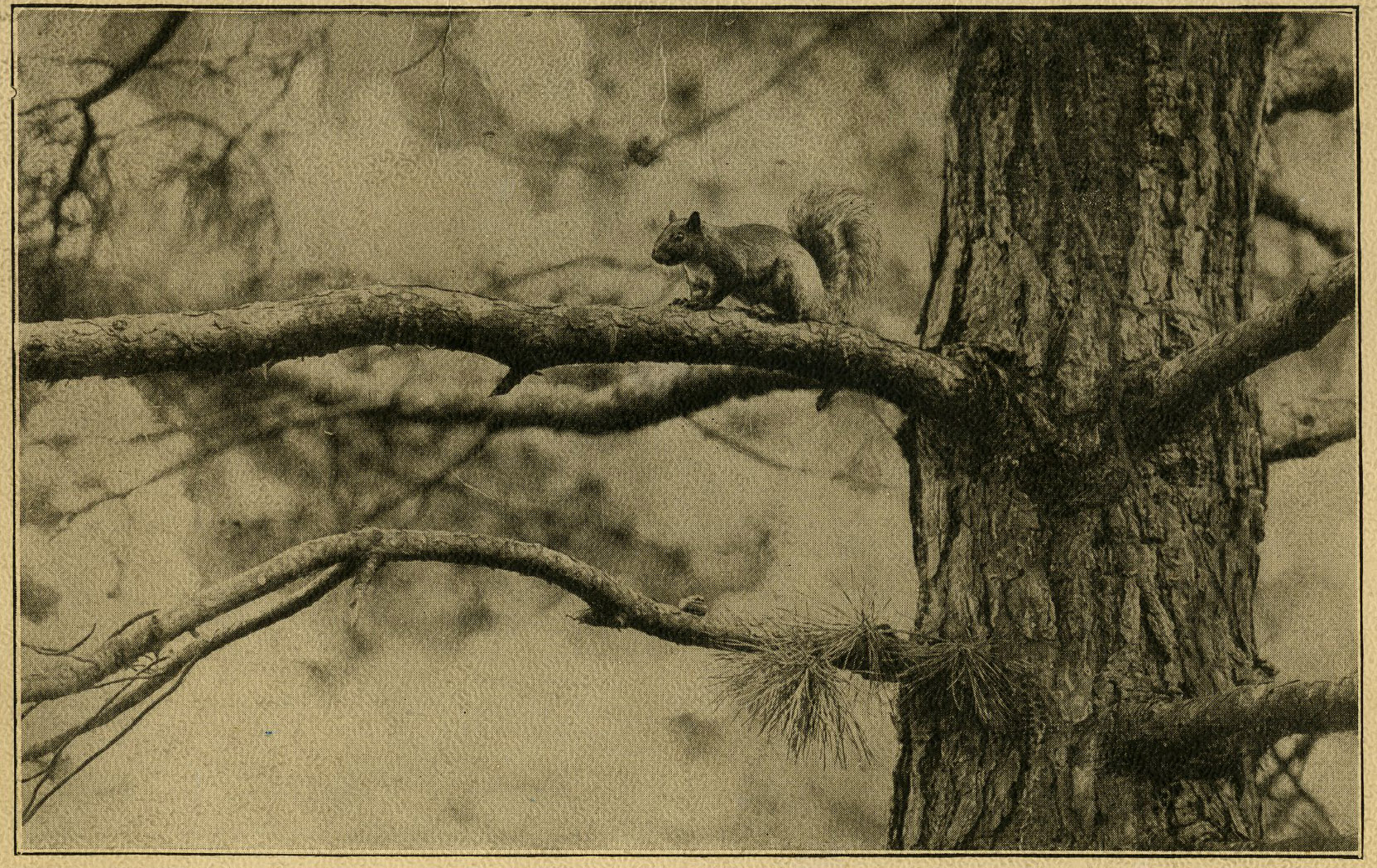 Squirrel in tree, circa 1912